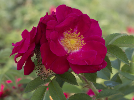 Rugosa rose, Rosa rugosa Imagens