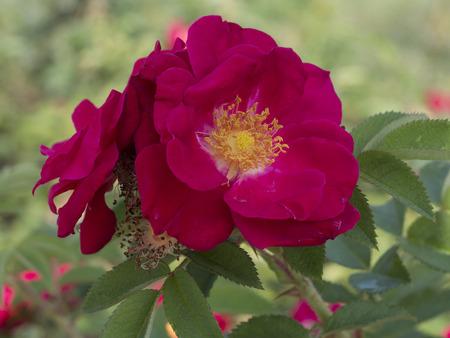 rosa: Rugosa rose, Rosa rugosa Stock Photo