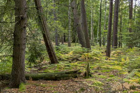 late summer: Coniferous forest in late summer