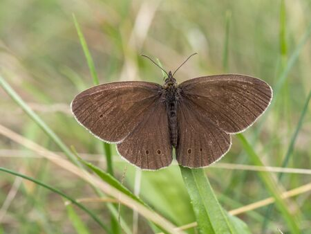 aphantopus: Ringlet in the grass, Aphantopus hyperantus Stock Photo