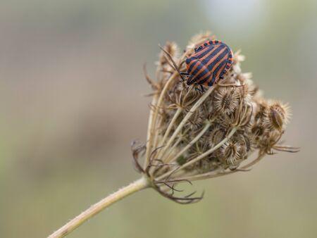 graphosoma: Striped-Bug on a plant, Graphosoma lineatum