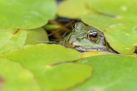 edible: Edible frog, Pelophylax esculentus