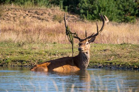 elaphus: Red deer, Cervus elaphus Stock Photo