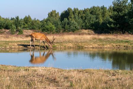 cervus: Red deer, Cervus elaphus Stock Photo