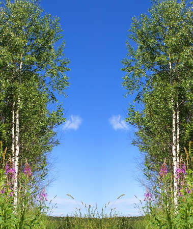 harmonous: June; the bright sky; harmonous birches; easy clouds; a background for a calendar.                     Stock Photo
