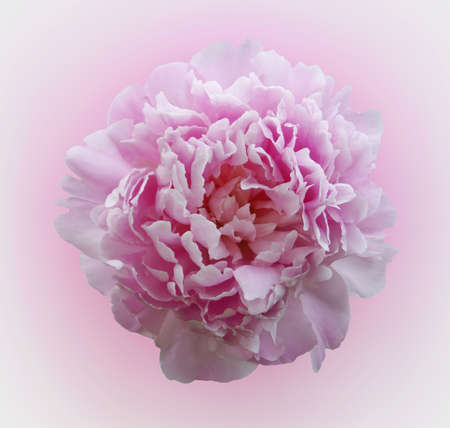 degradation: A flower of a peony in a pink fog; Graceful gentle petals create a solemn atmosphere.