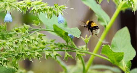 hastens: The bumblebee hastens for work; I manoeuvre between fantastic thrickets of June grasses.