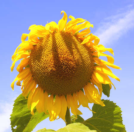 A surprising plant which constantly watches position of the Sun in a sky. Stock Photo - 1584016