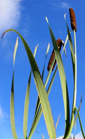 marsh plant: Canna sbocciante su una priorit� bassa luminosa, blu scuro, autunno, il cielo. Una pianta bella della palude.