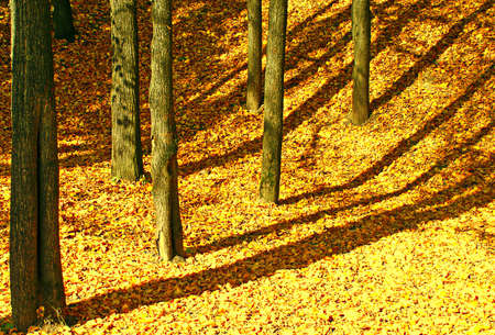 The soft, rustling, golden carpet, was stretched under legs of harmonous trees.                   photo