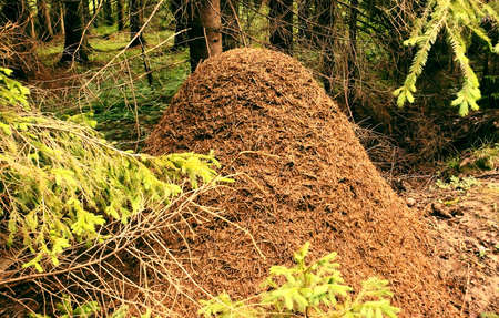 anthill: Large ant-hill in the spruce forest, charming beauty and harmony of wild nature. Stock Photo