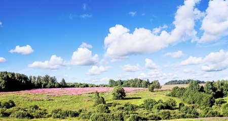 Landscape, summer, July, large field of raspberry colors of Willow-herb, bright blue sky, easy cumuli.  photo