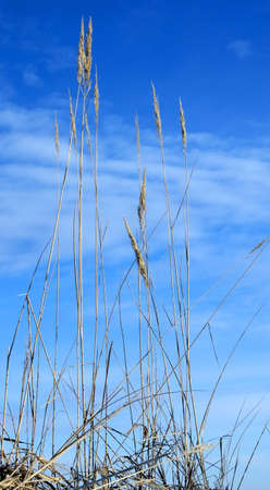 transcendental: A high dry grass aims to overmaster transcendental spaces. Winter bouquet, January.  Stock Photo