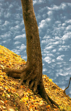 Mighty roots of an old maple confidently and reliably keep it on an abrupt slope of a hill. Stock Photo