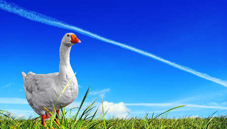 Dispersal field.  Goose, beautiful proud bird. A vapour trail is crossed by bright blue sky above a juicy green grass.  photo