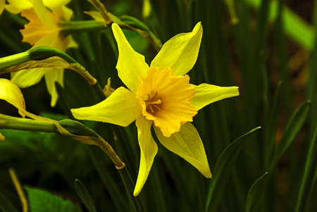 bell curve: Yellow narcissus - proud and beautiful spring flower, closeup against the dark green background.