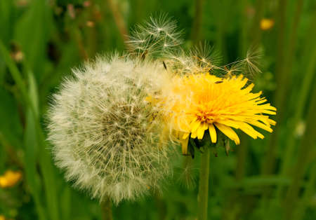 Two dandelions - old with the downy grey head and young yellow and merry support each other.  photo