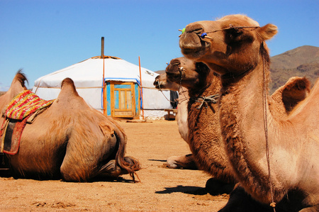 Camels sitting down in front of a yurt in the Mongolian Gobi desert