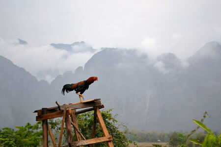 scenic background: A rooster making cock-a-doodle-doo in the morning in front of a scenic background