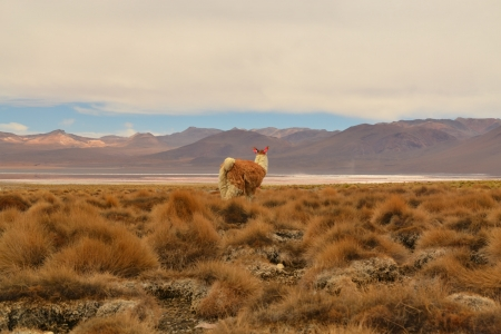 Vicuna Lama looking into the empty grassland of the Andes, Bolivia photo