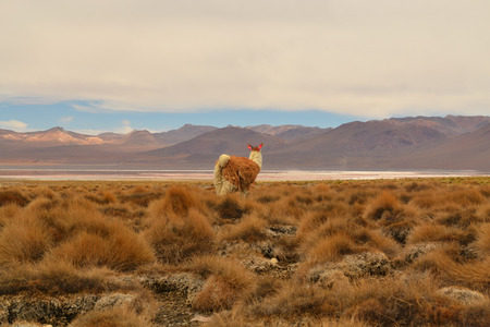 VicunaLama looking into the empty grassland of the Andes, Bolivia photo