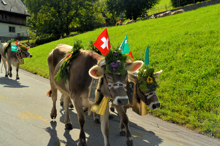 arrives: Swiss Cows are decorated and led down into the valley before the winter arrives Stock Photo