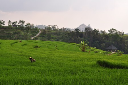 stepped: Rice farmer working in stepped terraces of green rice plants near Solo or Surakarta, Java, Indonesia Stock Photo