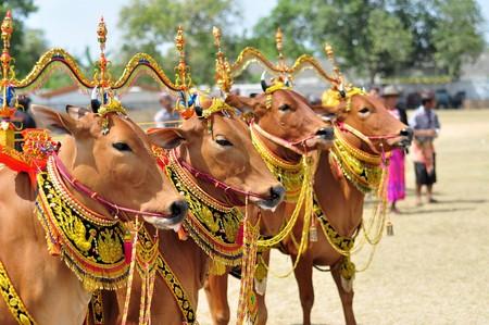 bull horn: Pamekasan, Indonesia - 18 October 2014: Decorated Bulls before the final of the Bull Race, held every year on the island of Madura in the Stadium of Pamekasan, Indonesia