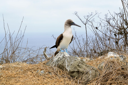 booby: Blue footed booby, Sula nebouxii in Galapagos islands. Stock Photo