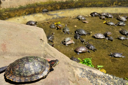 tenacity: Turtles at Buddhist temple in Hanoi, Vietnam. For the Vietnamese, the tortoise is sacred and symbolizes longevity, power, and tenacity. Stock Photo