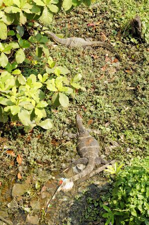 cruel zoo: Water monitor lizard Varanus Salvator, a common sight in Bangkoks canals, Thailand