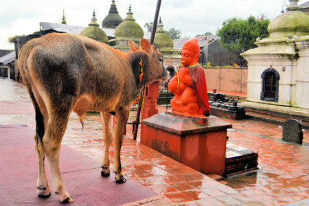 Holy cow in Pashupatinath Hindu temple and cremation ghats, Khatmandu Stock Photo