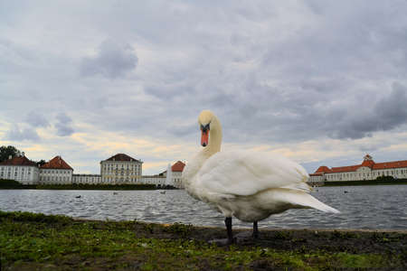nymphenburg palace: Swan in front of Schloss Nymphenburg, a Baroque palace in Munich, Bavaria. The palace was the main summer residence of the rulers of Bavaria. Editorial