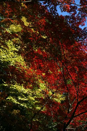 red and yellow maple trees in japan Stock Photo - 2521909
