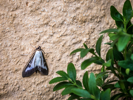 photo shows the box tree moth adult Cydalima perspectalis sitting on a wall close to box tree