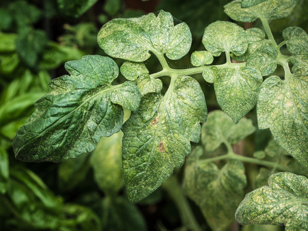 photo shows a colonie of spider mites (Tetranychus spp.) ruining a tomato plant Stock Photo