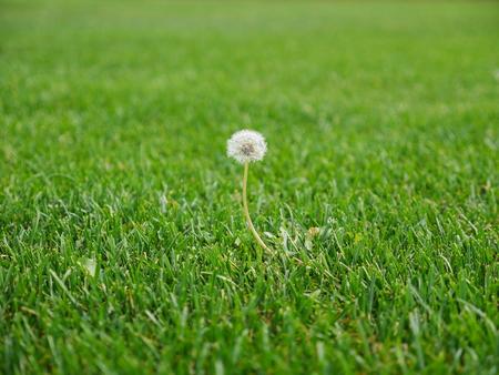 photo shows a dandelion flower head in nice lawn area forgot after mowing Reklamní fotografie