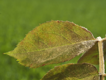 photo shows the white powdery meldew growth on rose leaves