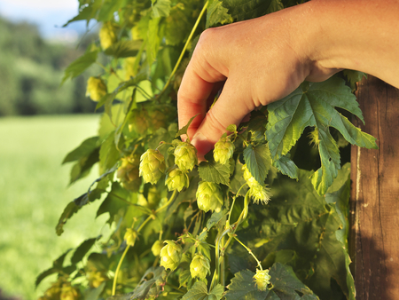 photo shows a hand havesting home grown hops Stock Photo