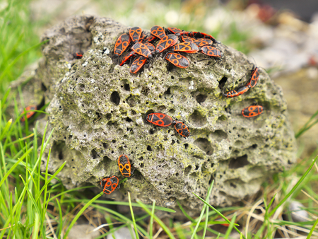 photo shows a colony of firebugs gathering on a stone Stock Photo
