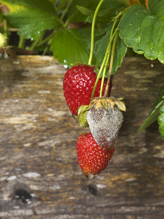 photo shows a close up of Botrytis Fruit Rot or Gray Mold of strawberries - upright format