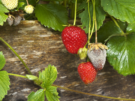 photo shows a close up of Botrytis Fruit Rot or Gray Mold of strawberries - landscape format