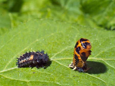 cicle of ladybird - larvae and pupa