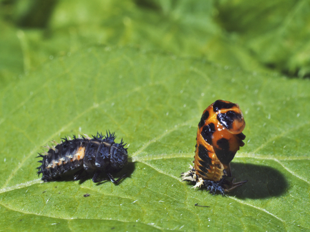 photo shows 2 stages of the life cicle of the ladybird - larvae and pupa Stock Photo