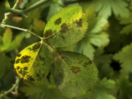 photo shows some leaves of roses infected by blackspot fungus Foto de archivo
