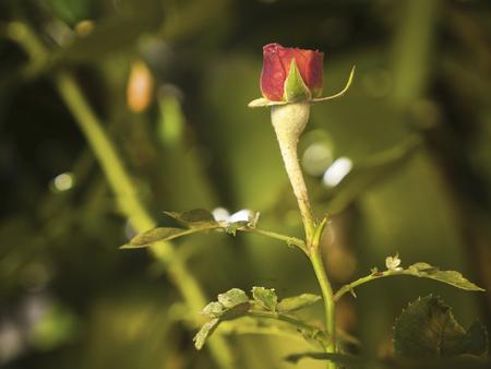 powdery mildew rose - Sphaerotheca pannosa