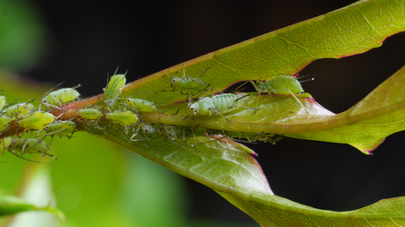 Closeup of sucking green aphids on rose shoot Imagens