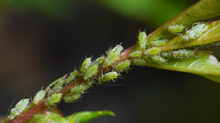 Closeup of sucking green aphids on rose Imagens
