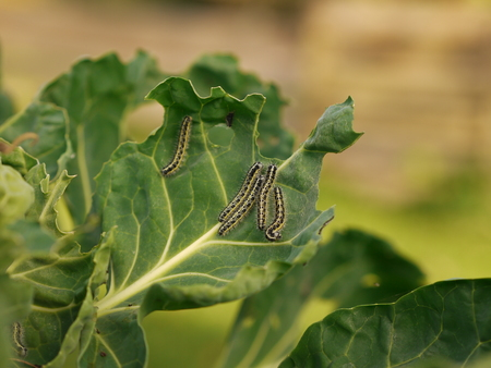 Caterpillars of the cabbage butterfly on a cabbage leaf - Pieris brassicae Banco de Imagens - 96572839