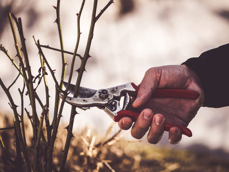 closeup of gardeners hand holding a pruning shear to cut rose branches